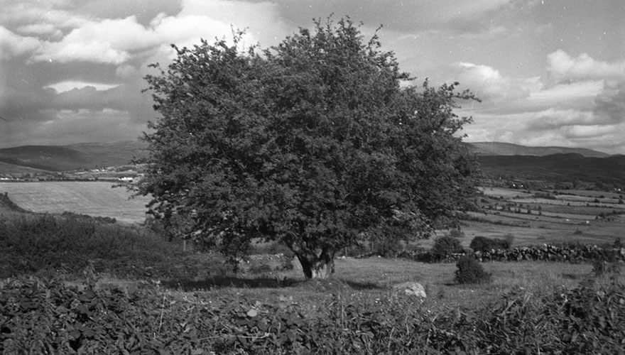 An old hawthorn fairy bush - Image courtesy of the National Folklore Collection.
